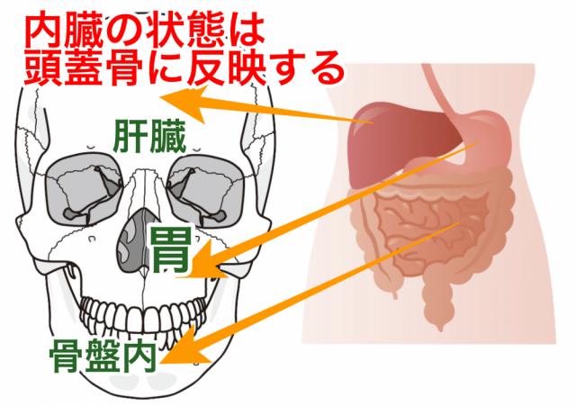 頭蓋骨と内臓の関係